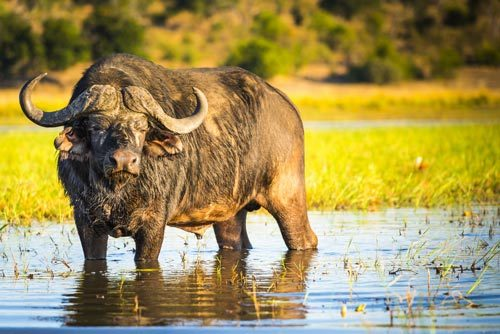 African-Buffalo, Chobe National Park