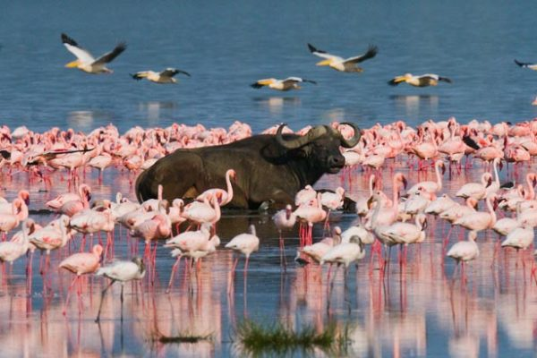 Buffalo-lying-in-the-water.-Kenya.-Africa.-Nakuru-National-Park