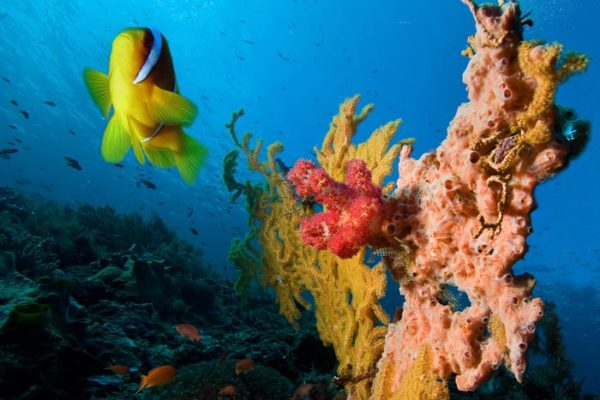 Damselfish-and-Coral