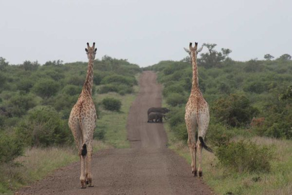 Giraffe walking down a gravel road in Kruger National Park
