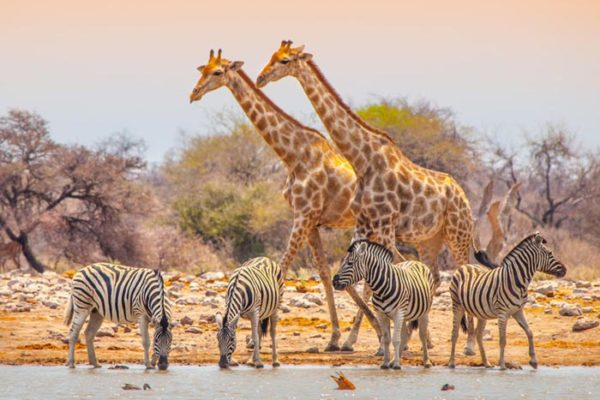 Giraffes and zebras at waterhole, Namibia