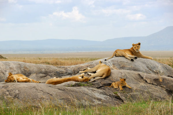 Lions sleeping in the Serengeti, Tanzania