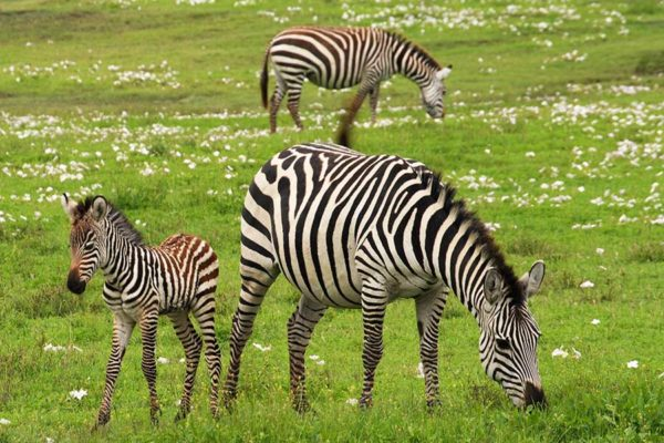 Zebra grazing in the Ngorogoro Crater, Tanzania