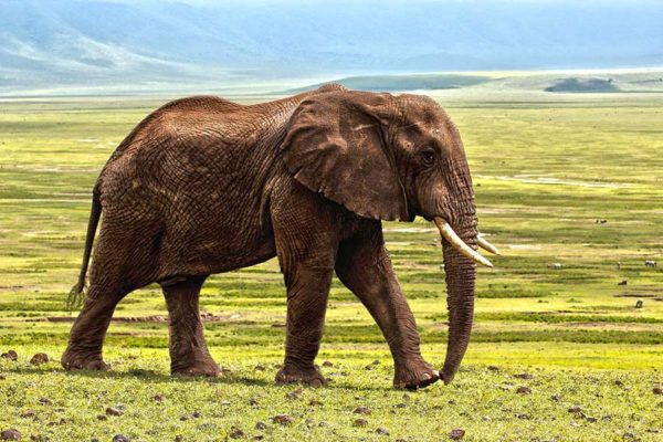 Elephant walking in the Ngorogoro Crater, Tanzania