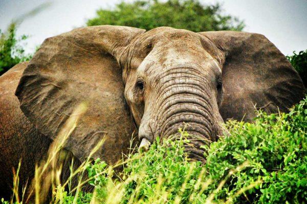 Elephant, Rwanda