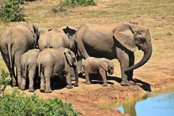 Elephant Herd drinking water in Kruger National Park