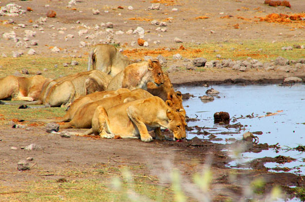 Lions drinking water, Namibia