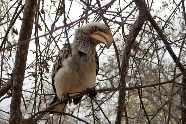 Hornbill Kruger National Park