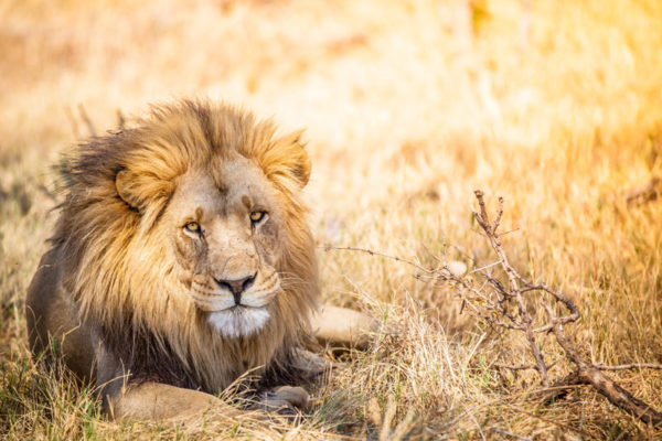Large-lion-in-Botswana-savannah